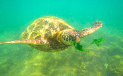 Rapa Nui: Oasis de Tortugas Marinas