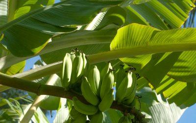Maika, Plátanos de Rapa Nui y sus usos culturales