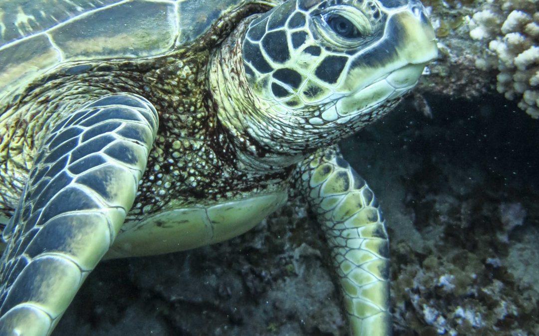 ¿Dónde descansan las tortugas en Rapa Nui?